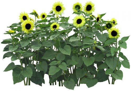 flowerpsd19