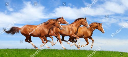 stock-photo-four-trakehner-sorrel-stallions-gallop-in-field-80534248