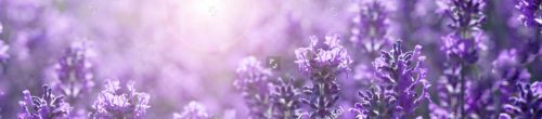 stock-photo-panorama-field-lavender-morning-summer-blur-background-spring-lavender-background-flower-1115950973